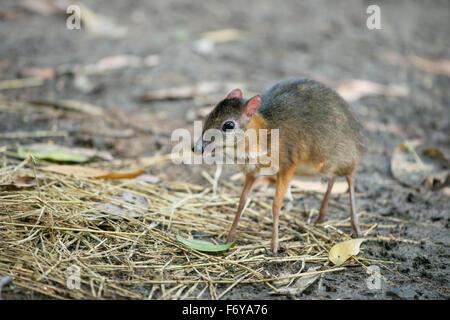 lesser mouse deer scientific name Tragulus kanchil