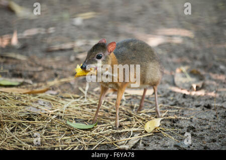lesser mouse deer scientific name Tragulus kanchil Stock Photo