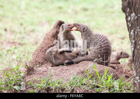Banded mongooses fighting on a termite mound in Serengeti National Park, Tanzania, East Africa - Stock Photo