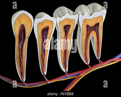 Teeth cross-section, artwork. The upper (biting) surfaces of the tooth are at top, with the lower sections (bottom) - Stock Photo