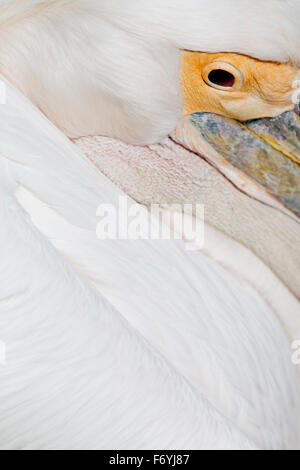 Pelican; Feather Detail; UK - Stock Photo