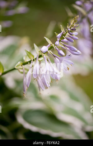 Violet Funkia blossoms macro, deciduous perennial plant in the Asparagaceae family, called hostas or plantain lilies, - Stock Photo