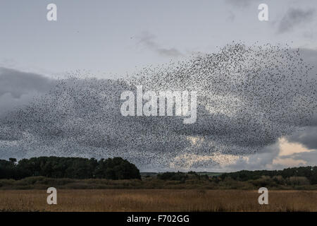 Marazion, Cornwall, UK. 22nd November 2015. Tens of thousands of Starlings coming in to evening roost in the reed - Stock Photo