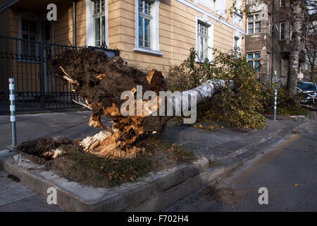 Sofia, Bulgaria - November 22, 2015: Car trapped under fallen tree after wind storm on November 22, 2015 in Sofia, - Stock Photo