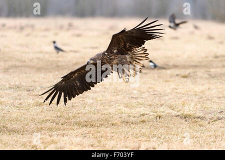 young white-tailed eagle in flight - Stock Photo
