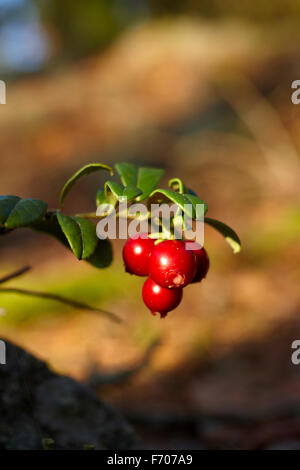 Lingonberry is a health bomb - Stock Photo