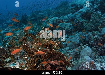Lyretail Anthias, Pseudanthias squamipinnis, Serranidae on Fire coral, Millepora dichotoma, Sharm el Sheikh, Red - Stock Photo