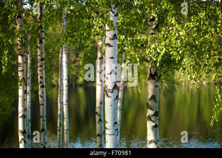 Beautiful birch forest on summer finland - Stock Photo