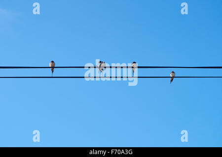 House martins perching on a wire - Stock Photo