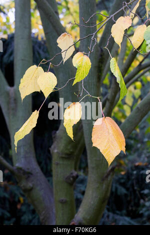 Acer x conspicuum 'Silver Vein' tree in Autumn. - Stock Photo