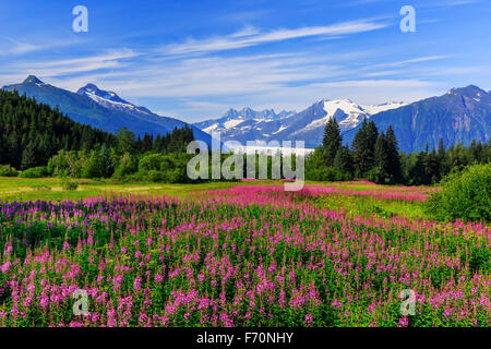 Mendenhall Glacier viewpoint with fireweed in bloom. Juneau, Alaska - Stock Photo