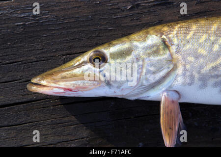Pike (Esox lucius) on a wooden deck - Stock Photo
