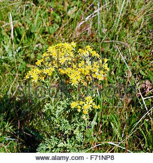 Common Ragwort  Senecio jacobaea yellow wildflowers and a Hoverfly Scaeva pyrastri collecting pollen - Stock Photo