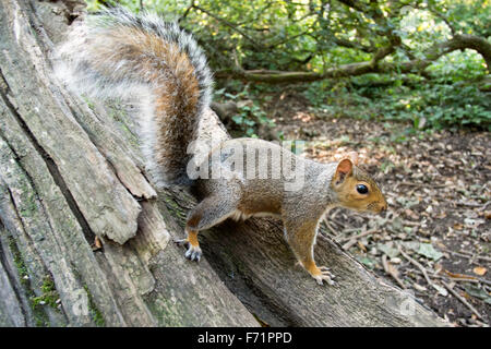 Bushy tailed European Grey Squirrel on a tree trunk in a wood - Stock Photo