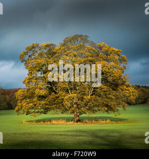 Old oak tree with striking sunlight on autumn leaves with a brooding sky backdrop - Stock Photo