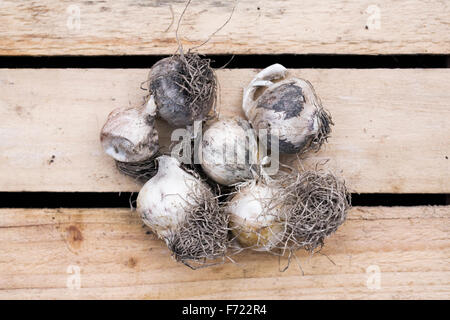 Allium nigrum bulbs. - Stock Photo
