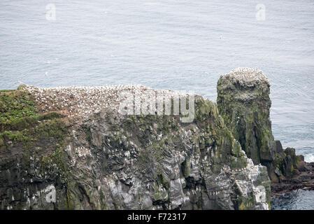 Northern gannet, Morus bassanus, colony on the Faroe Islands - Stock Photo
