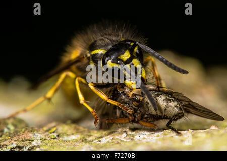 Common wasp (Vespula vulgaris) with fly prey meal - Stock Photo