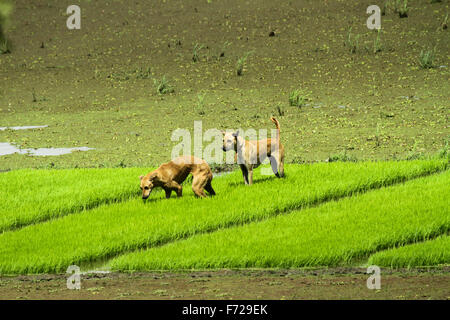 Dogs in paddy field - Stock Photo