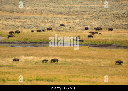 Herd of buffalo, Bison bison, with small calf following mother on the yellowing grassy plains of Hayden Valley in - Stock Photo