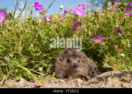Western hedgehog, European hedgehog, garden, Europäischer Igel, Garten, Westigel, Braunbrustigel, Erinaceus europaeus, - Stock Photo