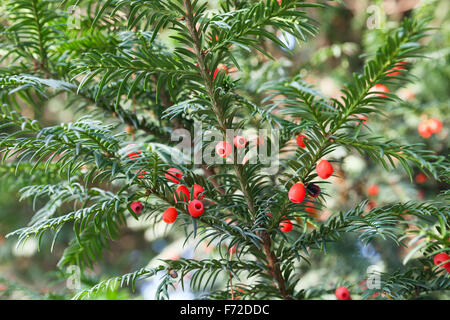Red berries growing on evergreen yew tree branches - Stock Photo