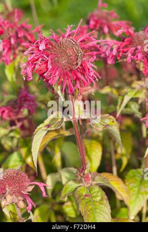 Crimson beebalm, Bee Balm, Horsemint, bergamot, Oswego, Indianernessel, Indianer-Nessel, Monarde, Pferdeminze, Monarda - Stock Photo