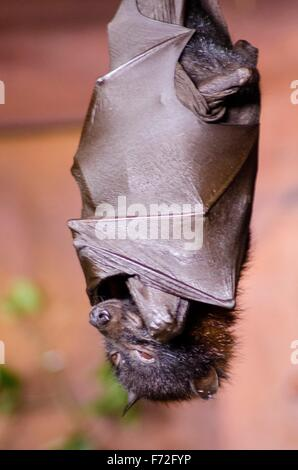 A large flying fox bat, a species of bat also known as Pteropus vampyrus, roosting positioned upside down with its - Stock Photo