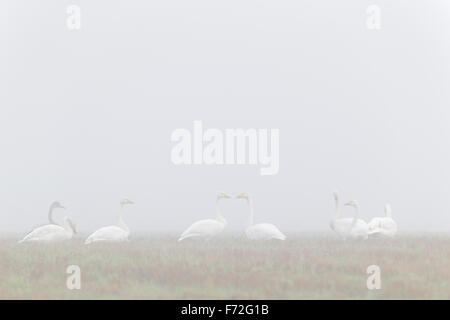 Flock of Whooper Swans with one Bewick's swan in autumn. Europe - Stock Photo