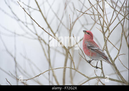 Male Pine Grosbeak (Pinicola enucleator). Europe - Stock Photo