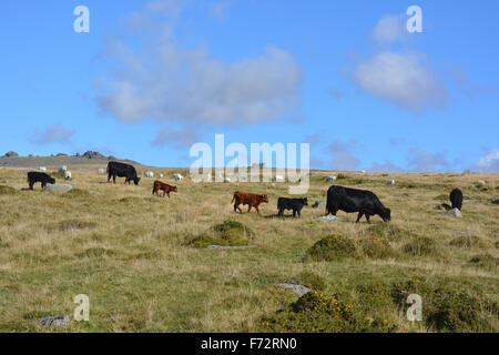 Cattle & sheep graze on Walkhampton Common. Little Mis Tor and Great Mis Tor on the horizon. Merrivale, Dartmoor - Stock Photo