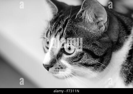 Beautiful House Cat in Black and White - Stock Photo