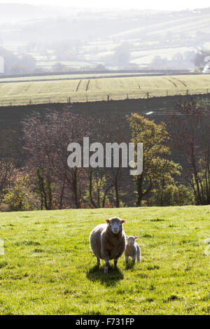Sheep in fields near Dunsford,dartmoor national park,devon lane,tarmac.winter,solitary,field, sheep, path, landscape, - Stock Photo