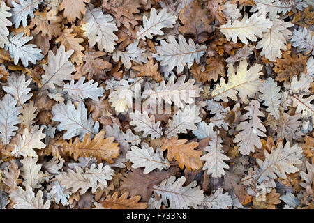 Quercus x haynaldiana. Fallen Oak tree leaves on the ground in autumn - Stock Photo