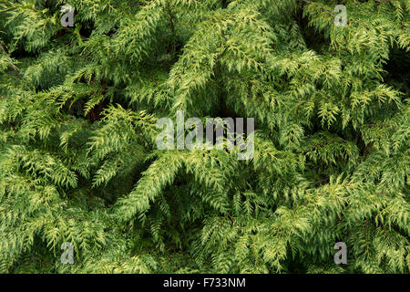 Thuja plicata 'Zebrina'. Western red cedar 'Zebrina' tree - Stock Photo