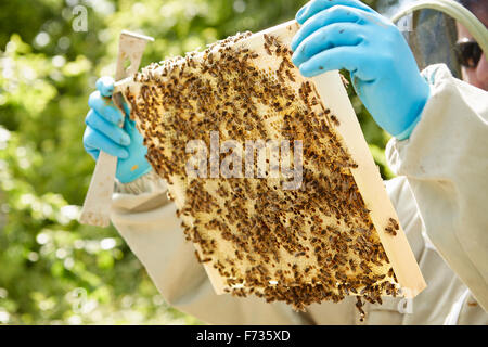A beekeeper holding a wooden beehive frame covered in bees. - Stock Photo