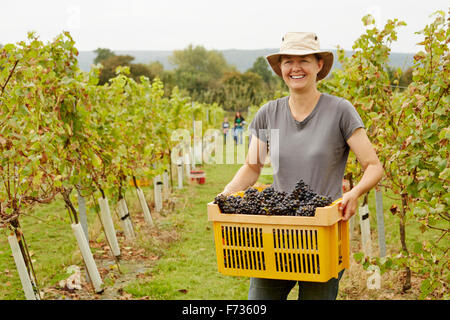 A grape picker in a wide brimmed hat, carrying a plastic crate of picked red grapes - Stock Photo