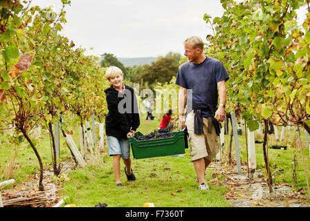 A man and his son carrying a plastic crate full of grapes through the vineyard. - Stock Photo