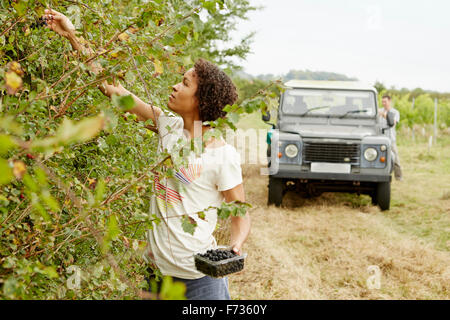 A woman picking blackberries from the hedgerow in autumn. - Stock Photo