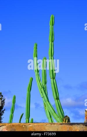 Mexican fence post cacti Latin name Pachycereus marginatus - Stock Photo