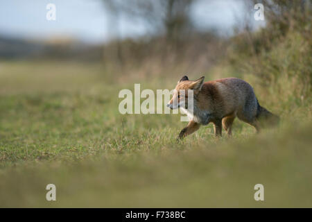 European Red Fox / Rotfuchs ( Vulpes vulpes ) in thick wintercoat stalks along a hedge, searching for food on grassland. - Stock Photo
