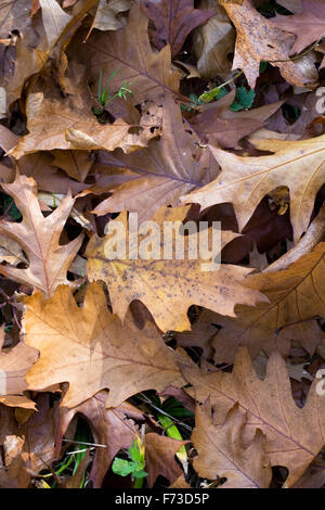 Quercus rubra leaves in Autumn. Northern Red Oak leaves. - Stock Photo