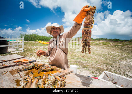 ANEGADA ISLAND, BRITISH VIRGIN ISLANDS, CARIBBEAN. A man holds a fresh lobster up above a wooden table where he - Stock Photo