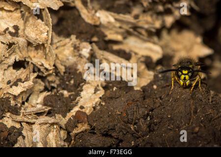 Common wasp (Vespula vulgaris) on guard by disturbed underground nest - Stock Photo