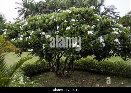 Champa tree, farm house, panvel, maharashtra, india, asia - Stock Photo
