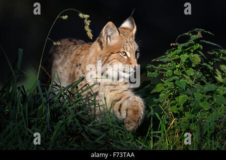 Young Eurasian Lynx / Eurasischer Luchs ( Lynx lynx ) stalks in spotlight through natural high vegetation, padded - Stock Photo