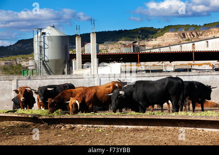 Detail of several bulls eating on a farm - Stock Photo