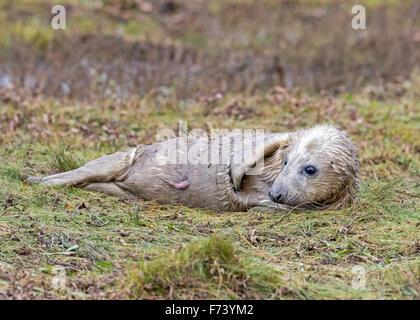 Grey Seal Pup (Halichoerus grypus) - Stock Photo