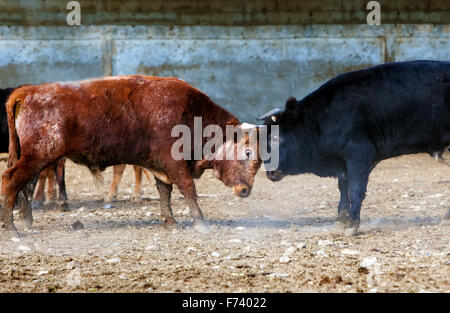 Fighting bulls on a farm - Stock Photo