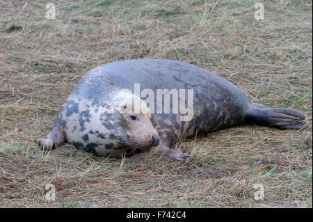 Grey Seal (Halichoerus grypus) - Stock Photo
